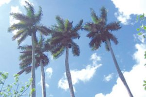national-tree-cuba